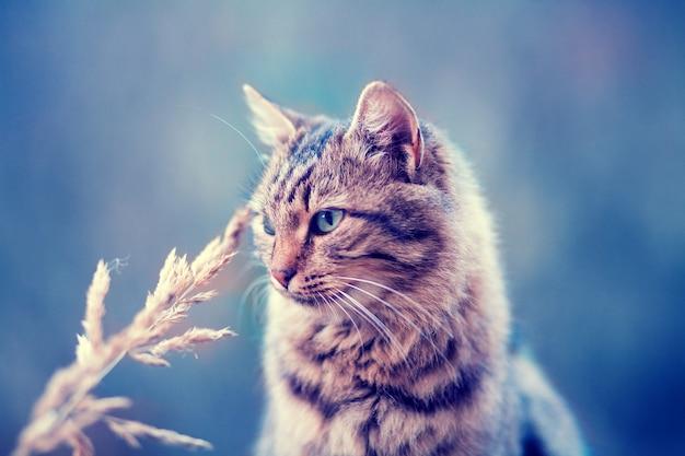 Retrato de um lindo gato siberiano ao ar livre no outono