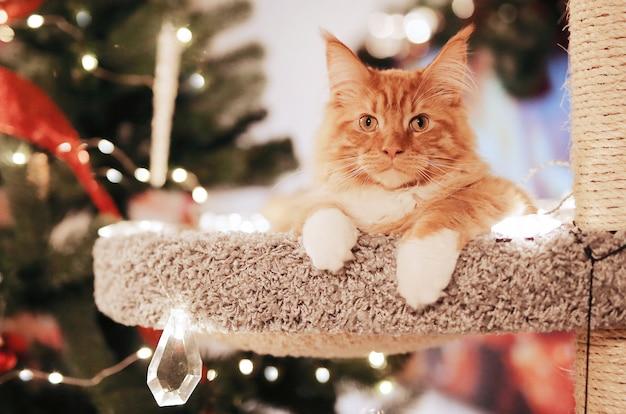 Retrato de um lindo gato vermelho maine coon, sentado perto da árvore de natal no cathouse