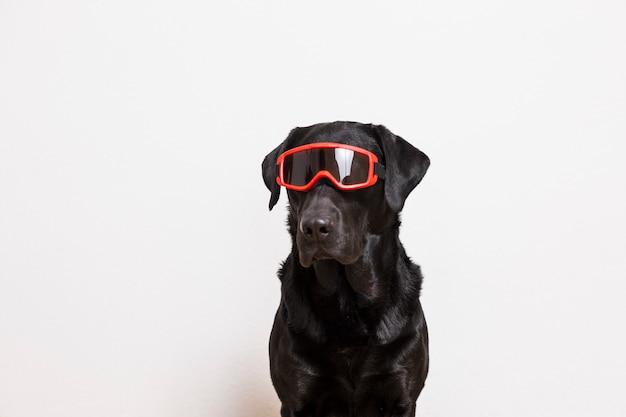 Retrato de um lindo labrador preto usando óculos de neve vermelho