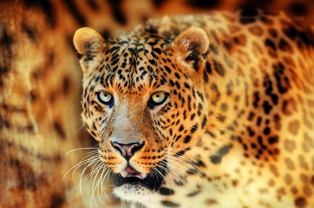 Retrato de um lindo leopardo