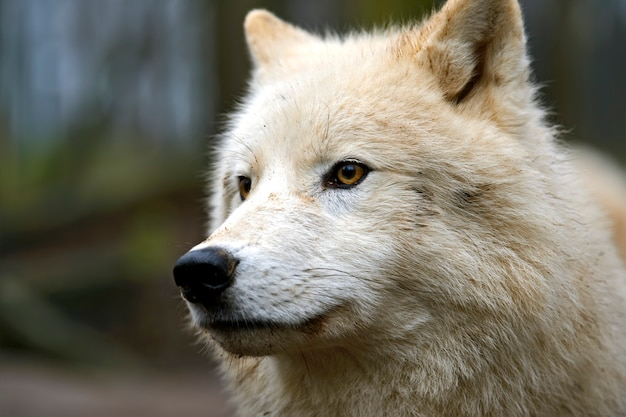 Retrato de um lobo polar