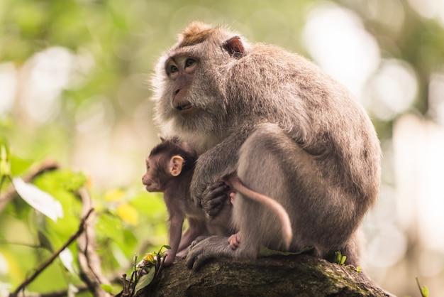 Retrato de um macaco adulto na floresta de macacos, ubud, bali