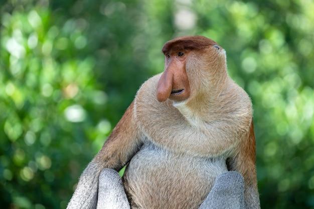 Retrato de um macaco-narigudo selvagem ou nasalis larvatus na floresta tropical da ilha de bornéu