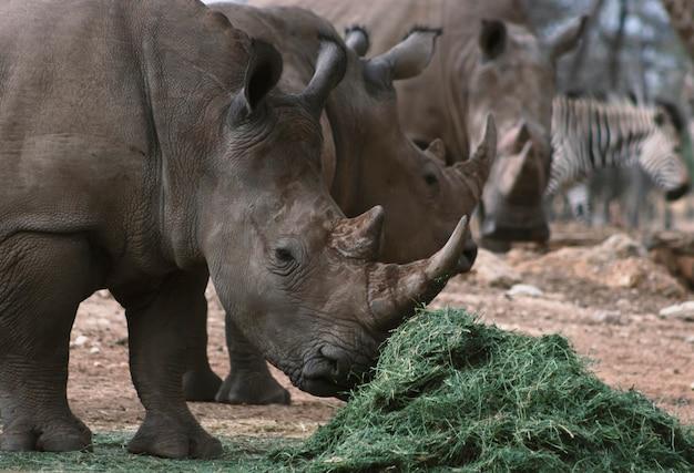Retrato de um macho touro branco rhino pastando no parque nacional de etosha, namíbia