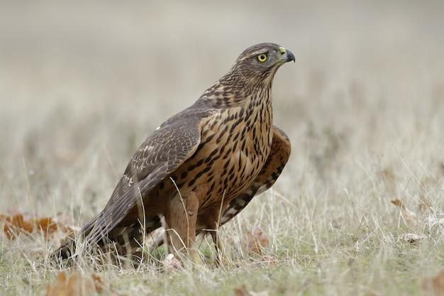Retrato de um magnífico falcão no campo coberto de grama