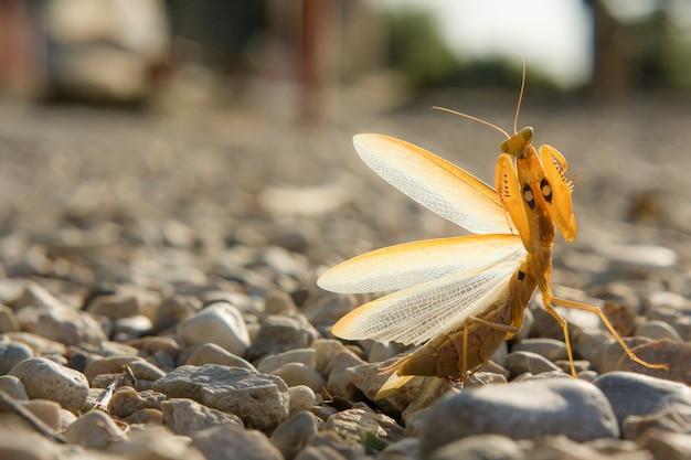 Retrato de um mantis como um modelo