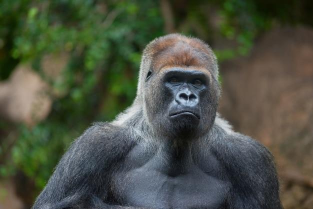 Retrato, de, um, oeste, planície, silverback, gorila