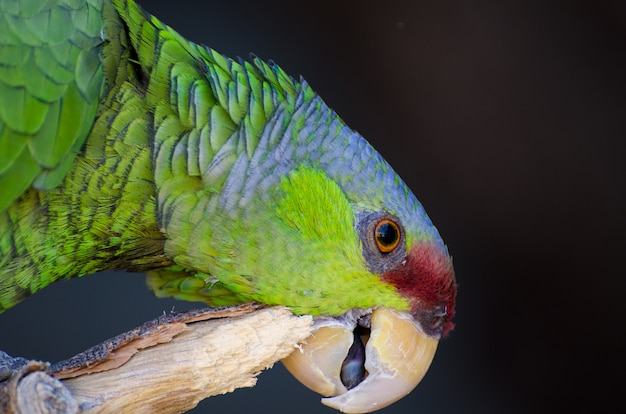 Retrato de um papagaio da amazônia coroado de lilás