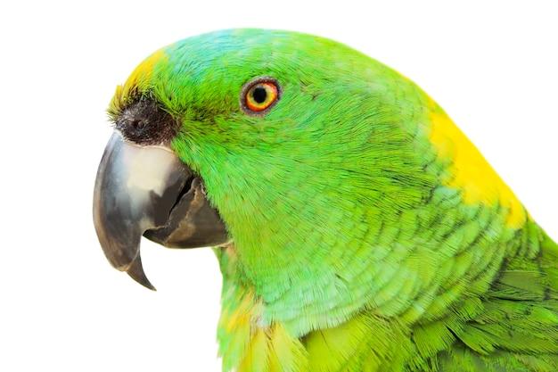 Retrato de um papagaio verde em branco