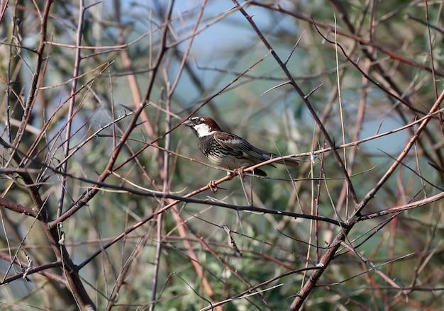 Retrato de um pardal espanhol ou macho do pardal salgueiro (passer hispaniolensis) sentado em um galho e mostrando a presa capturada para a fêmea.
