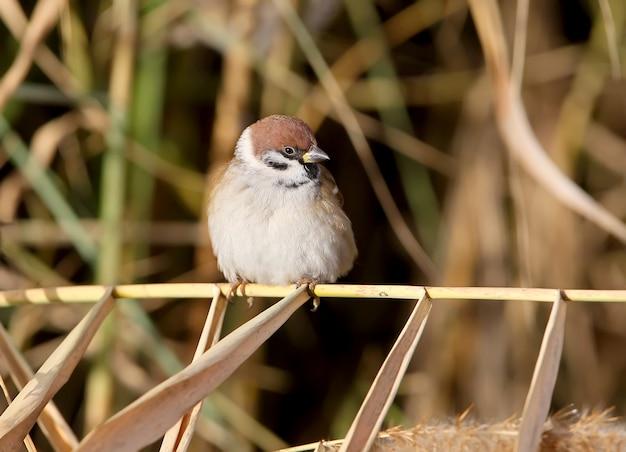 Retrato de um pardal triste sentado em um galho fino de junco