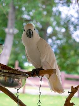 Retrato de um pássaro grande branco sentado em um galho de madeira com uma tigela de alimentação e uma árvore verde bokeh de fundo