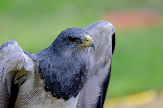 Retrato de um pássaro incrível do sul da américa