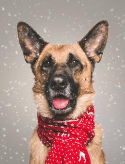 Retrato de um pastor alemão bonito doméstico em um lenço pontilhado vermelho com neve