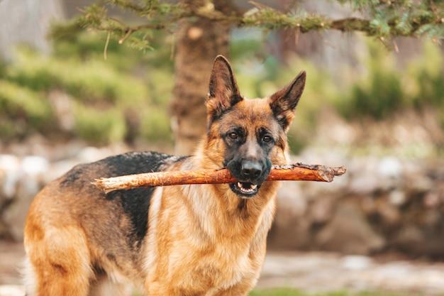 Retrato de um pastor alemão com um pau na boca. cão de raça pura.