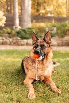 Retrato de um pastor alemão com uma bola laranja na boca deitada na grama.