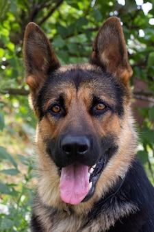 Retrato de um pastor alemão em um parque. cão de raça pura.