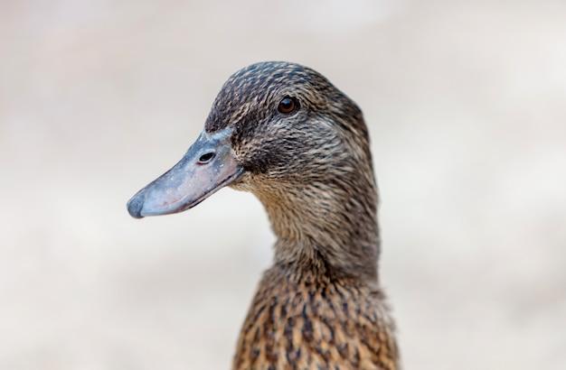Retrato, de, um, pato marrom