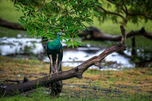 Retrato de um pavão bonito no sri lanka