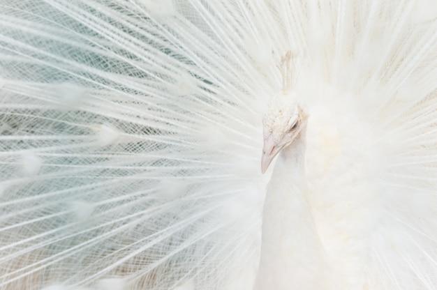 Retrato de um pavão branco, com penas abertas, realizando a dança nupcial.