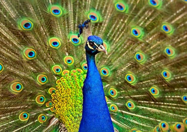 Retrato de um pavão lindo com penas para fora