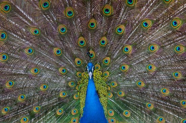 Retrato de um pavão lindo sem penas