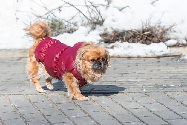 Retrato de um pequeno cachorro pequinês