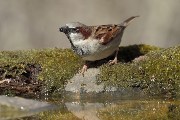 Retrato de um pequeno pardal na rocha coberto de musgos e água sob a luz do sol