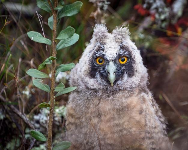 Retrato de um pichon de stygian owl (asio stygius)