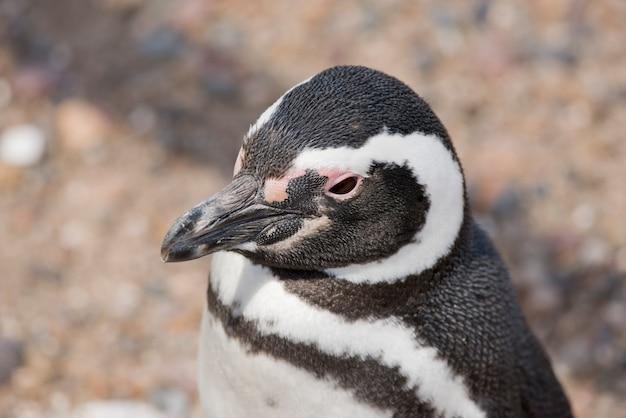 Retrato de um pinguim de magalhães