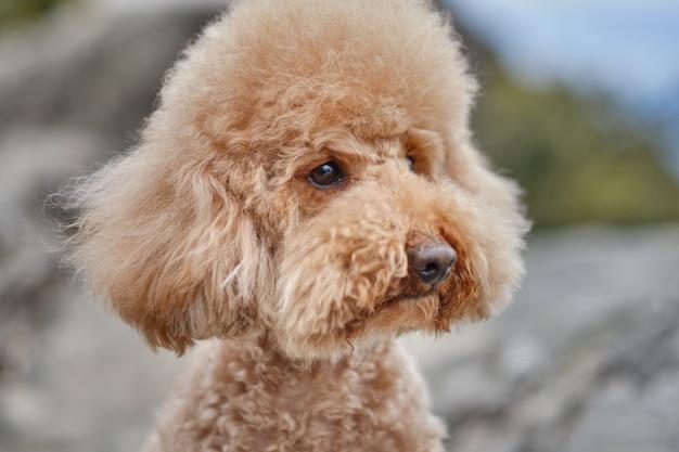 Retrato de um poodle marrom em estado selvagem