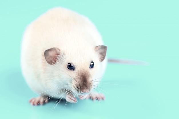 Retrato de um rato doméstico em fundo de hortelã