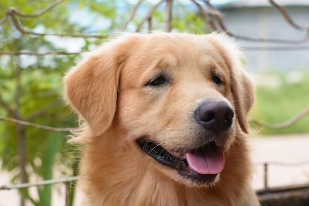 Retrato, de, um, retriever dourado, cão