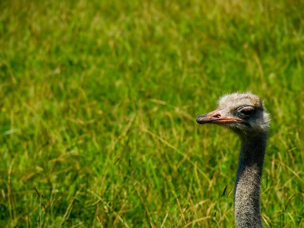 Retrato de um rosto de avestruz em um campo