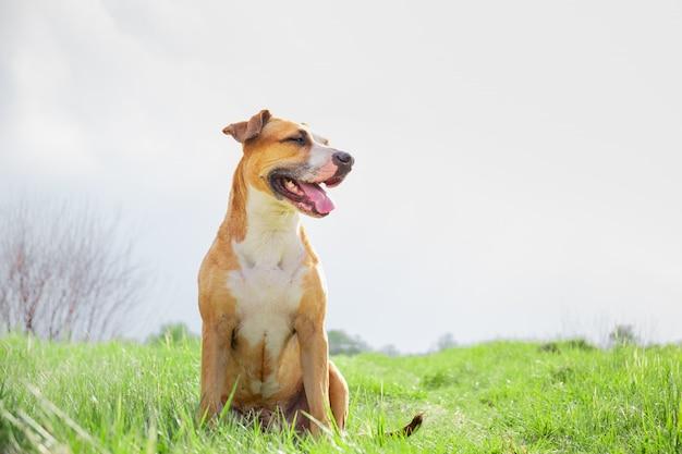 Retrato de um staffordshire terrier sentado em uma linda grama verde