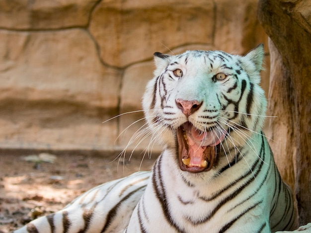 Retrato de um tigre branco