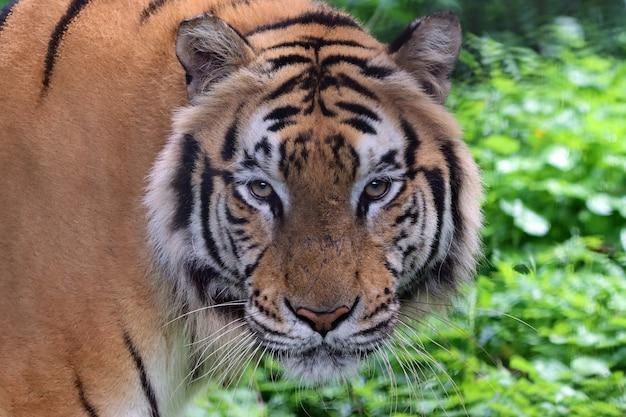 Retrato de um tigre de bengala closeup cabeça tigre de bengala macho de tigre de bengala closeup
