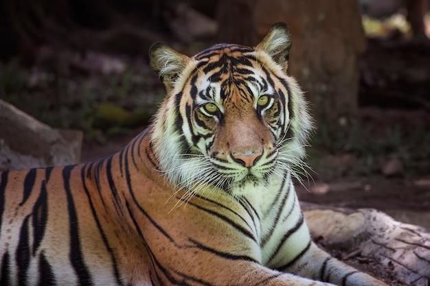 Retrato de um tigre de sumatra