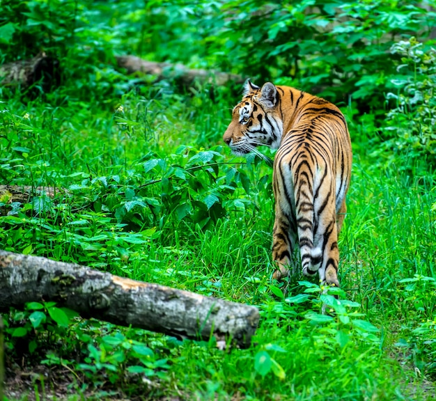 Retrato de um tigre no habitat selvagem