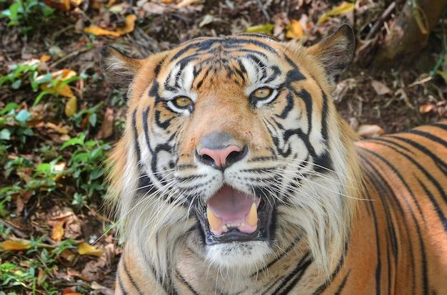 Retrato de um tigre sumatra