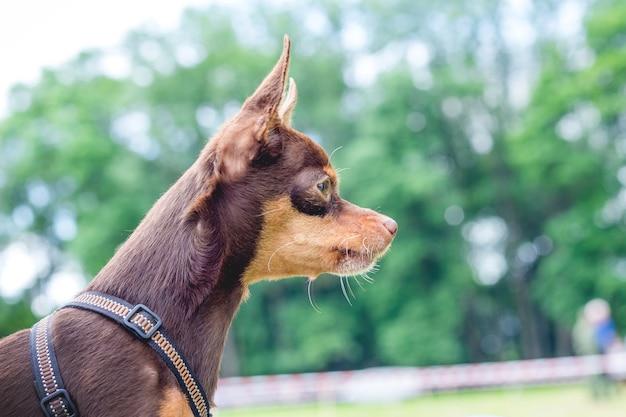 Retrato de um toy terrier russo de raça de cachorro no perfil