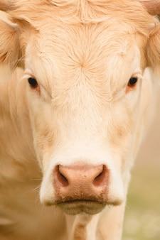 Retrato, de, um, vaca, cabelo loiro