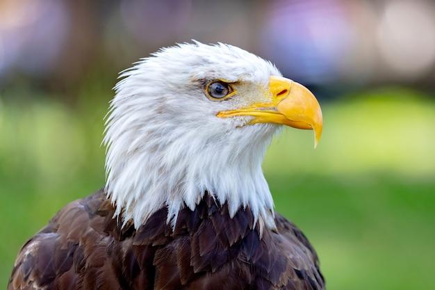 Retrato de uma águia americana na natureza