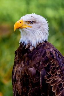 Retrato de uma águia americana na natureza.