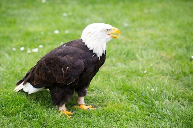 Retrato de uma águia careca na grama.