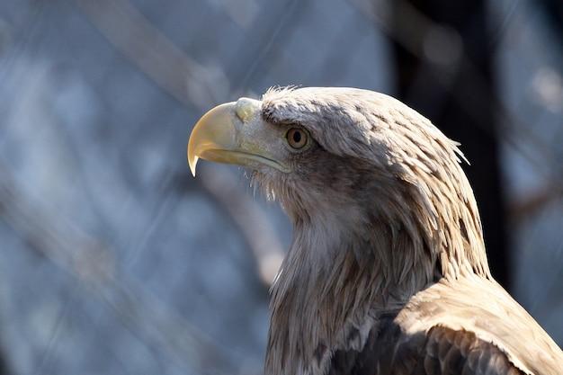 Retrato de uma águia close up