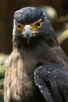Retrato de uma águia dourada em estado selvagem em um parque de conservação de animais