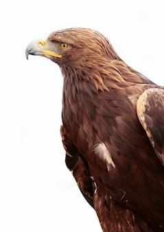 Retrato de uma águia dourada em fundo branco