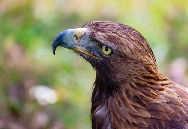 Retrato de uma águia dourada