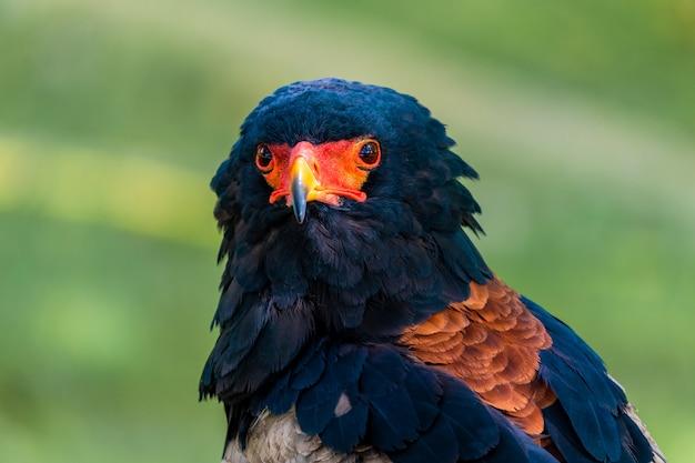 Retrato de uma águia subsaariana